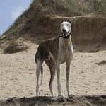 Galgo, fotos, razas de perro 9