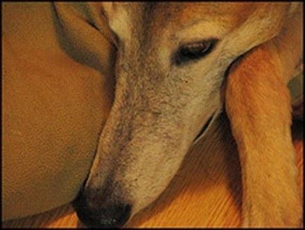 Galgo, fotos, razas de perro 2