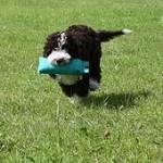 Perro de agua español, fotos, razas de perros 10