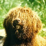 Perro de agua español, fotos, razas de perros 11