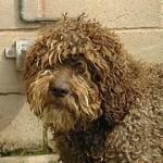 Perro de agua español, fotos, razas de perros 12