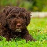 Perro de agua español, fotos, razas de perros 13