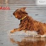Perro de agua español, fotos, razas de perros 2