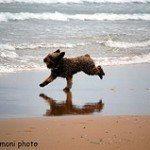 Perro de agua español, fotos, razas de perros 3