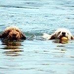 Perro de agua español, fotos, razas de perros 4