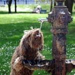 Perro de agua español, fotos, razas de perros 6