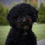 Perro de agua español, fotos, razas de perros 8