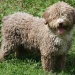 Perro de agua español, fotos, razas de perros 9