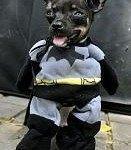 disfraces-caseros-para-mascotas-halloween-batman