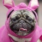 disfraces-caseros-para-mascotas-halloween-cerdo