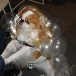disfraces-caseros-para-mascotas-halloween-lady-gaga