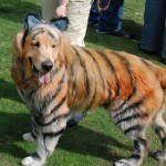 disfraces-caseros-para-mascotas-halloween-tigre