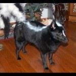 disfraces-caseros-para-mascotas-halloween-zorro