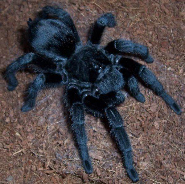 animales-invertebrados-araña