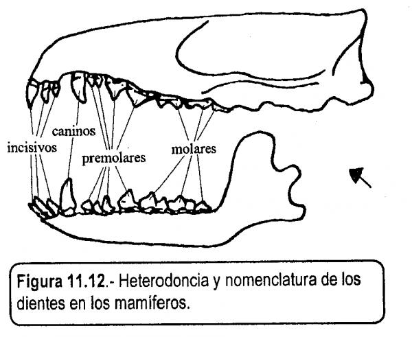 ¿Cómo son los dientes de los omnívoros?