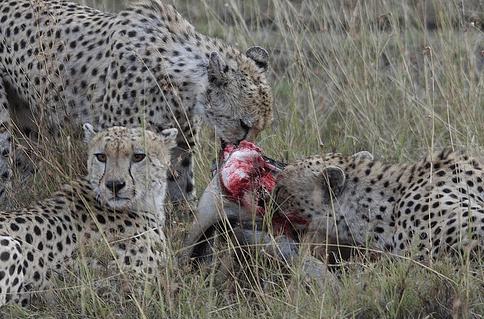 animales-carnívoros-comiendo
