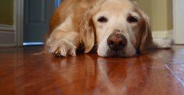 Infecciones urinarias en los perros: Causas, síntomas y tratamientos