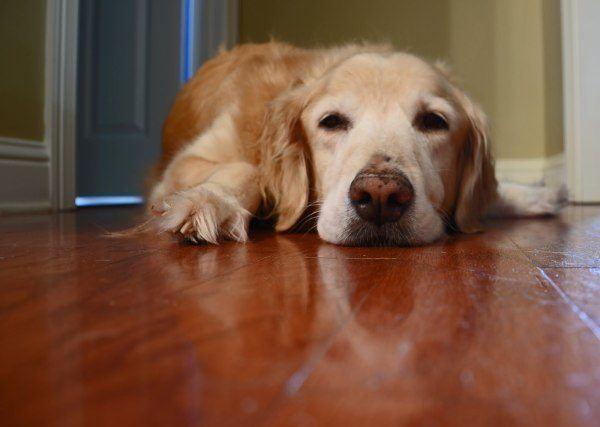 infecciones-urinarias-en-los-perros-causas-sntomas-y-tratamientos