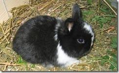 conejo-enano1