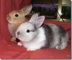 conejo-enano-490x409