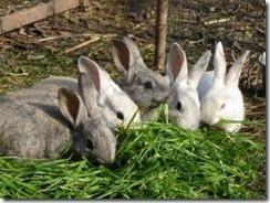 conejos-enanos-