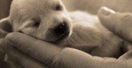 Perros Recién Nacidos – Cuidados de Cachorros