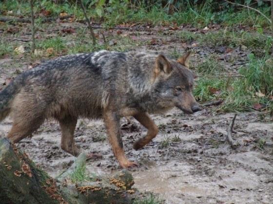 Canis_lupus_signatus_(Kerkrade_Zoo)_30