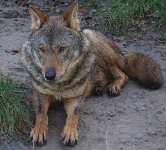 Canis_lupus_signatus_(Kerkrade_Zoo)_45