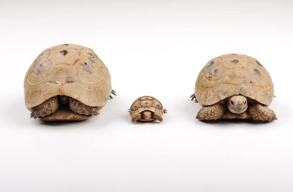 cuidados-tortugas-terrestres