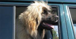 10 razas de perros grandes