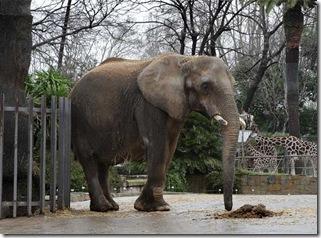 elefanta_Susi_zoo_Barcelona