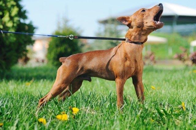 evitar-ladrido-de-perros-con-entrenamiento-no-manual