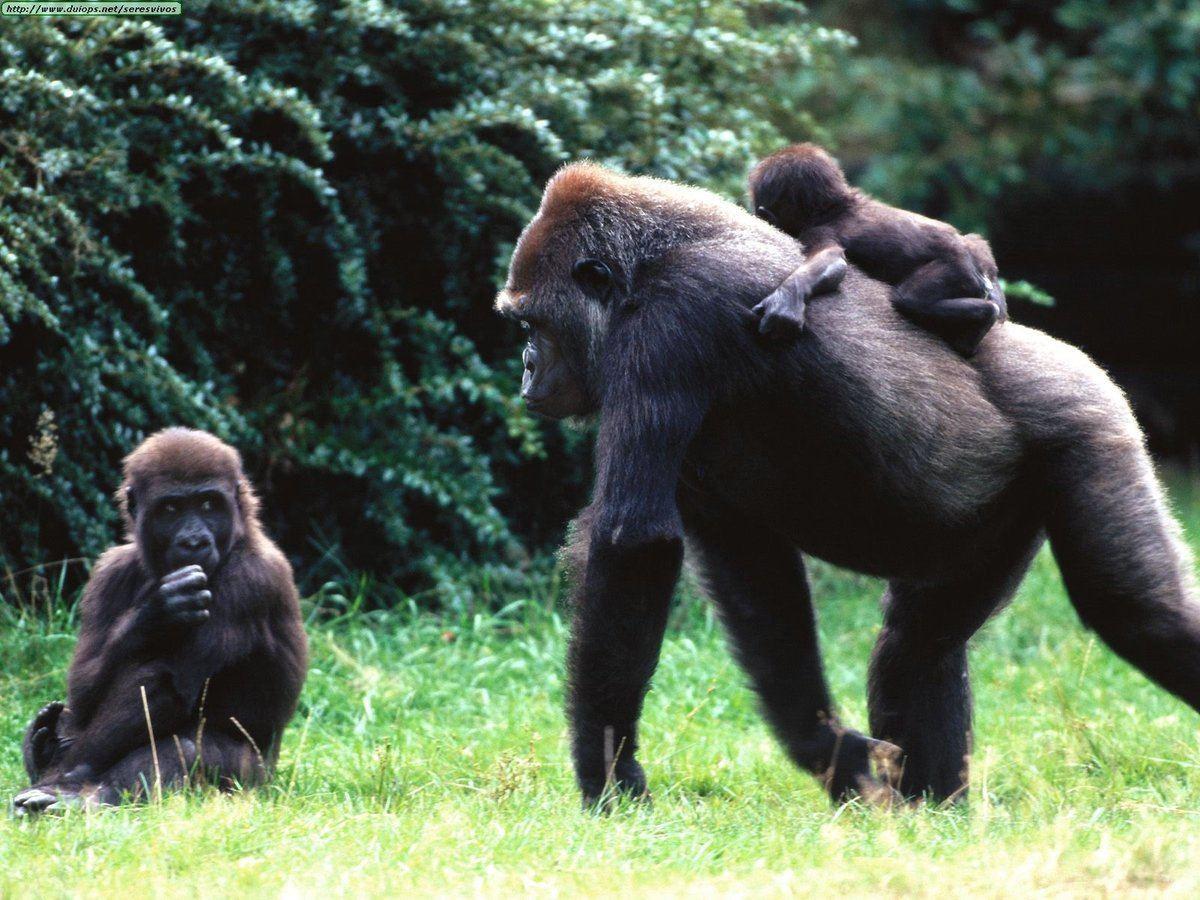 Gorilas en peligro de extincion