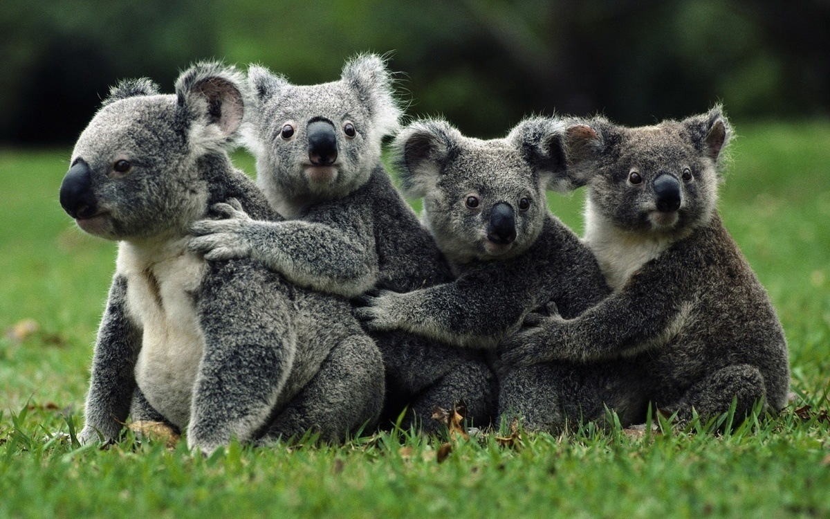 Koalas-de-Queensland