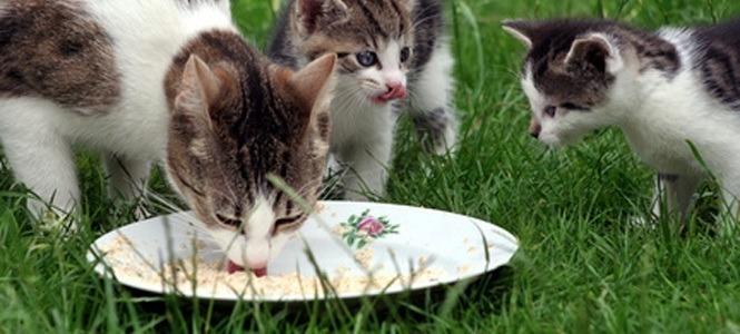 alimento gato