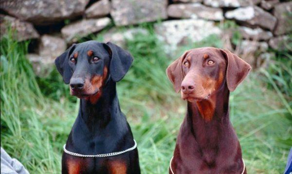 cepillos-para-perros-pelo-doberman