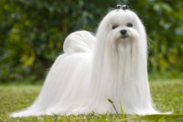 cepillos-para-perros-pelo-largo-yorkshire-bichon