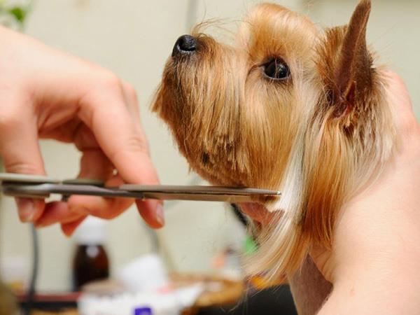 cepillos-para-perros-pelo-largo-yorkshire-peinado