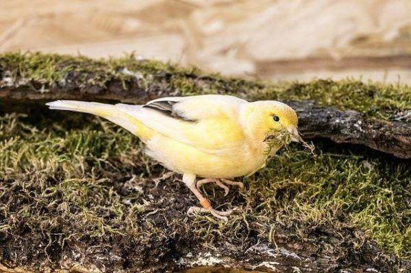 Hembra recogiendo musgo para su nido