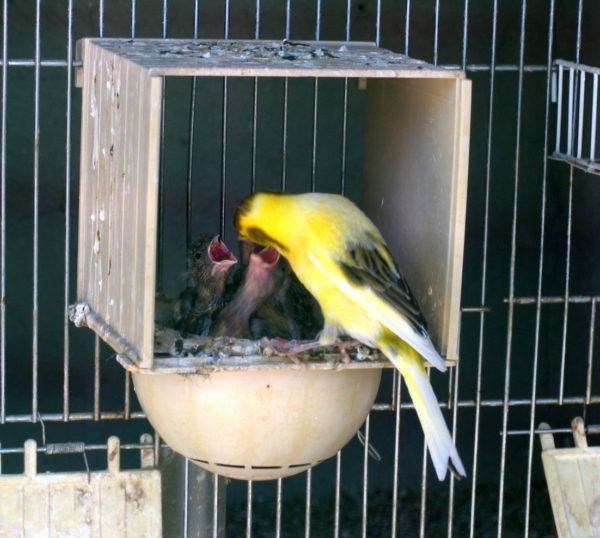 como-saber-si-un-canario-es-macho-o-hembra-nido