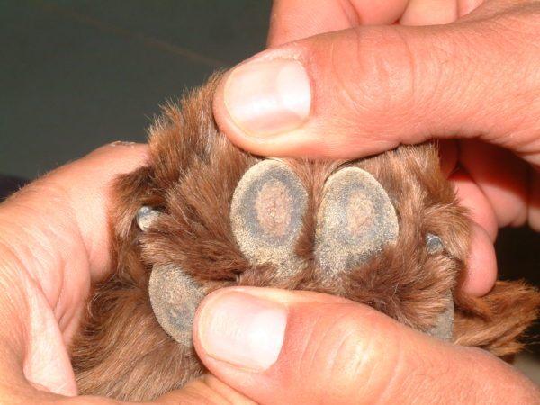 cuidados-de-mascotas-en-invierno-perro-almohadilla