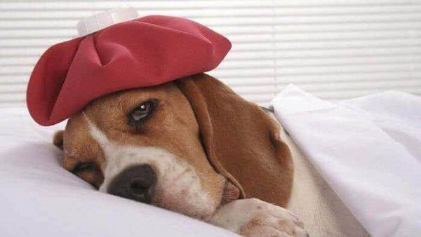 cuidados-de-mascotas-en-invierno-perro-enfermo