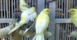 Cómo saber si un canario es macho o hembra