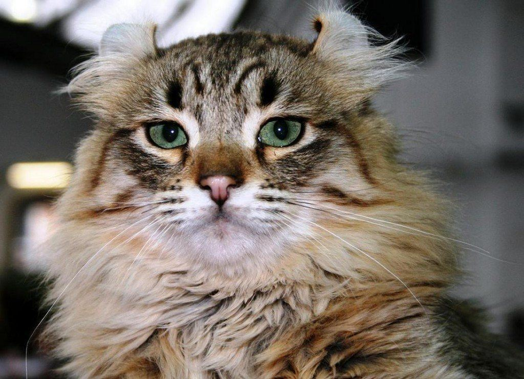 gatos-de-raza-american-curl