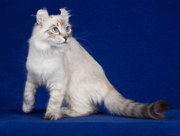 gatos-de-raza-american-curl.cuidados
