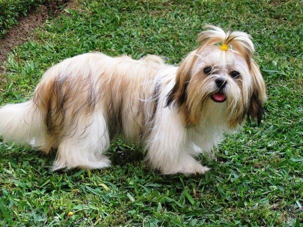 Razas De Perros Shih Tzu Animalesmascotas