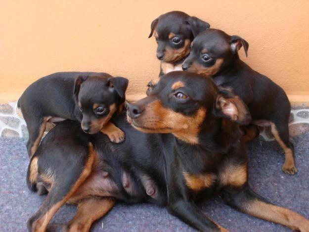 Razas de perros el pinscher animalesmascotas for Pincher cucciolo