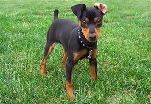 perros-pinscher-enano