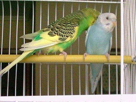 limpiar la jaula de nuestras aves
