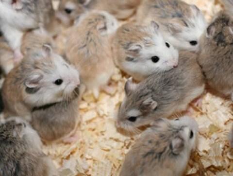 adoptar hamster